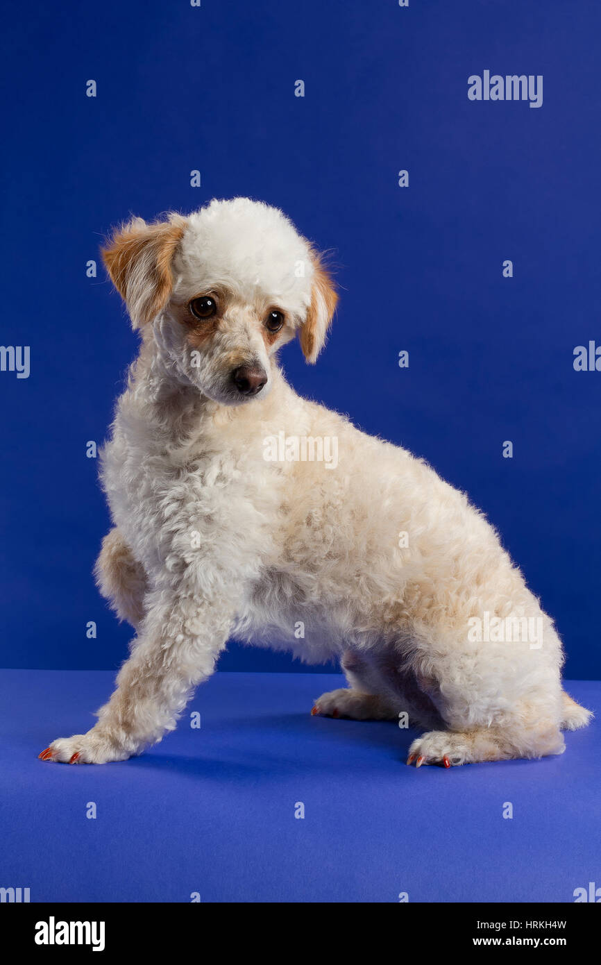Poodle Sitting - Stock Image