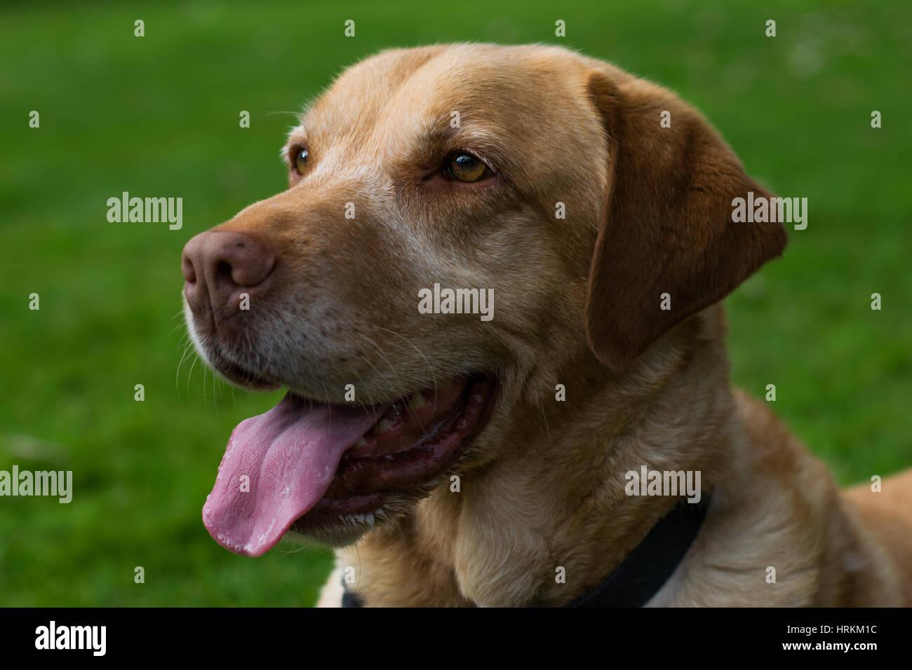 Labrador playing in the garden - Stock Image