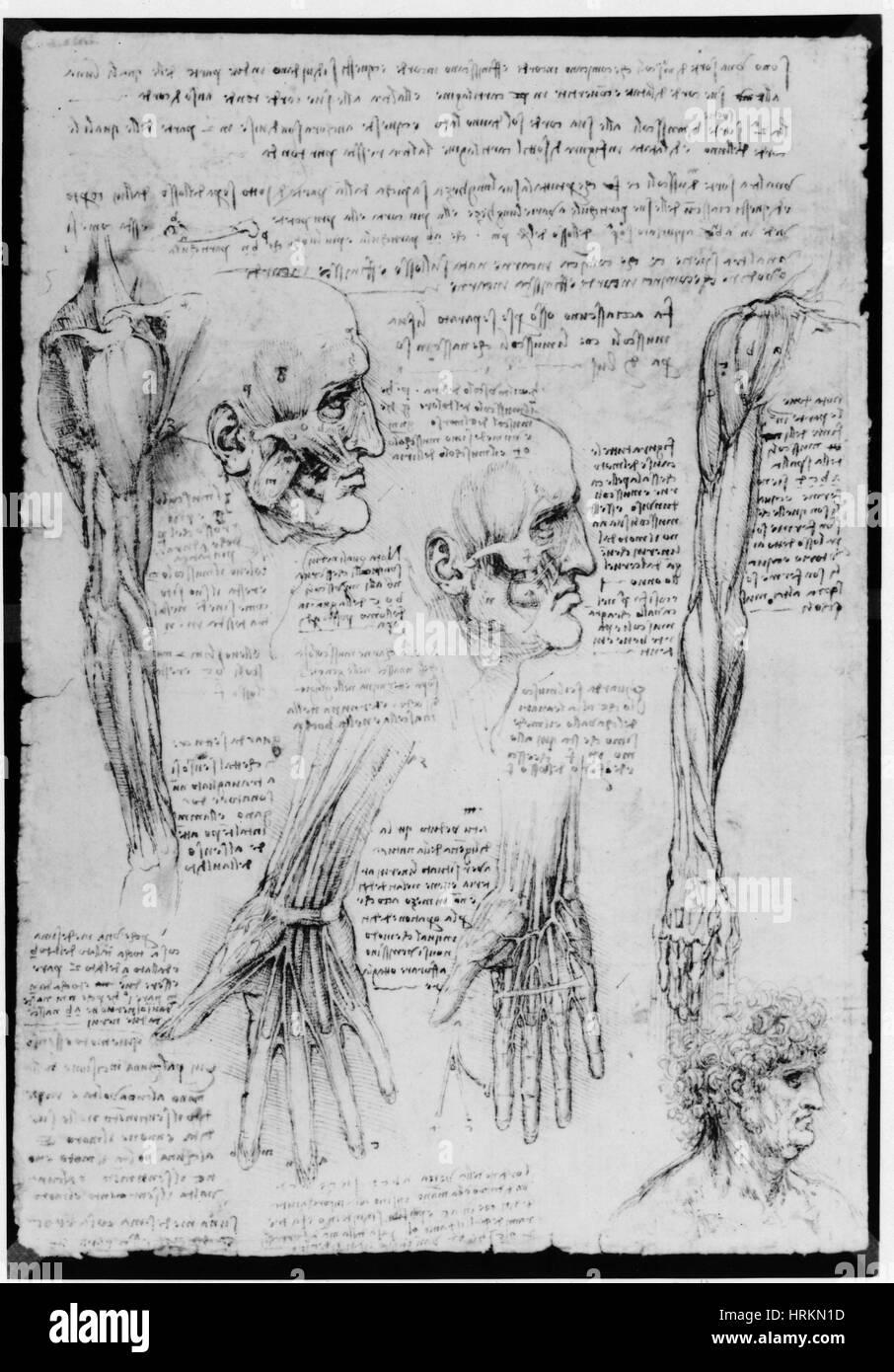 Da Vinci Muscles - Stock Image