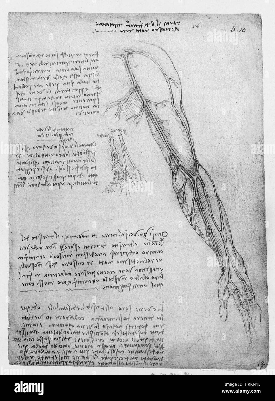 Da Vinci Superficial Vessels of the Arm - Stock Image