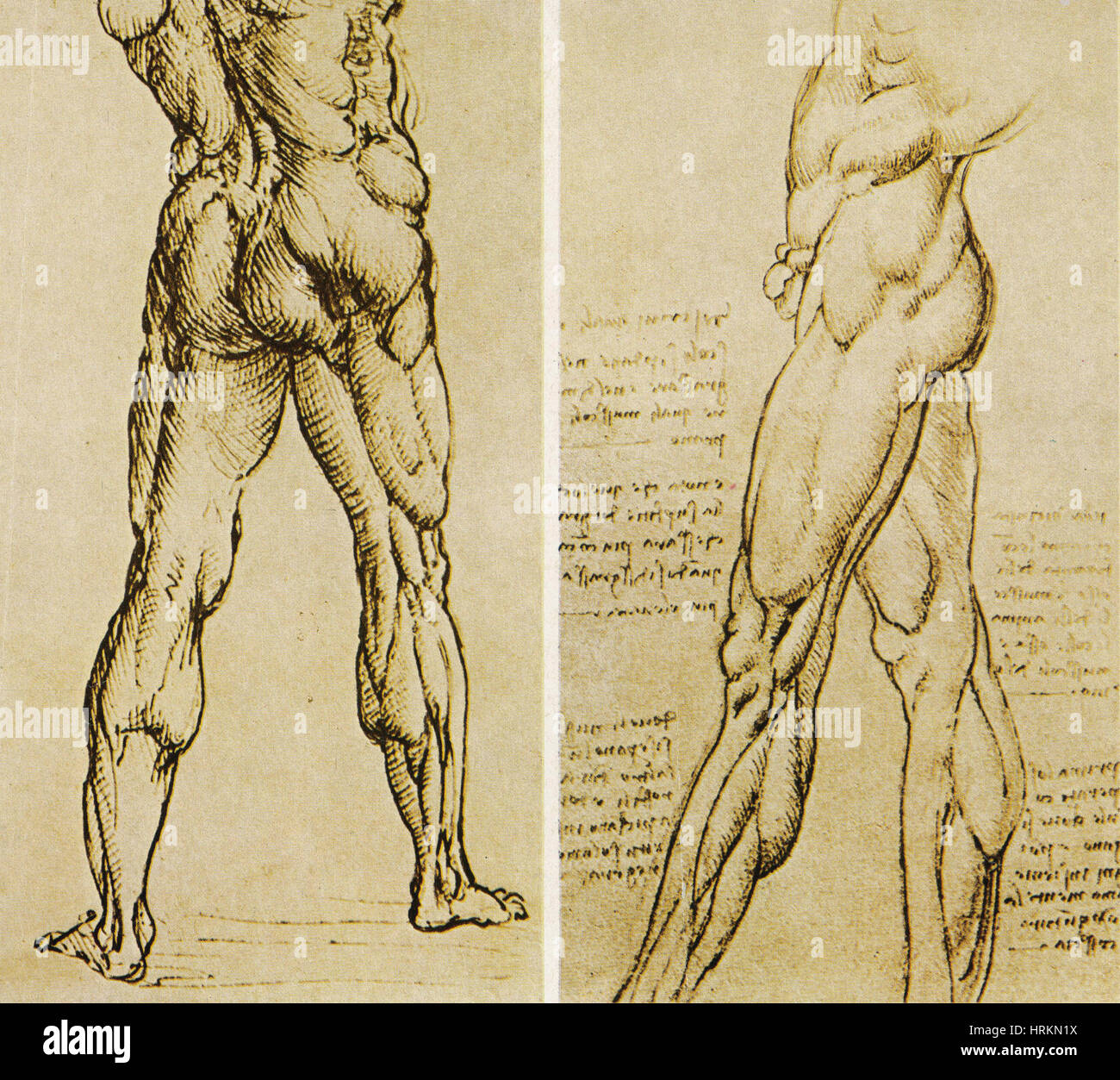 Da Vinci Anatomy Stock Photos & Da Vinci Anatomy Stock Images - Alamy