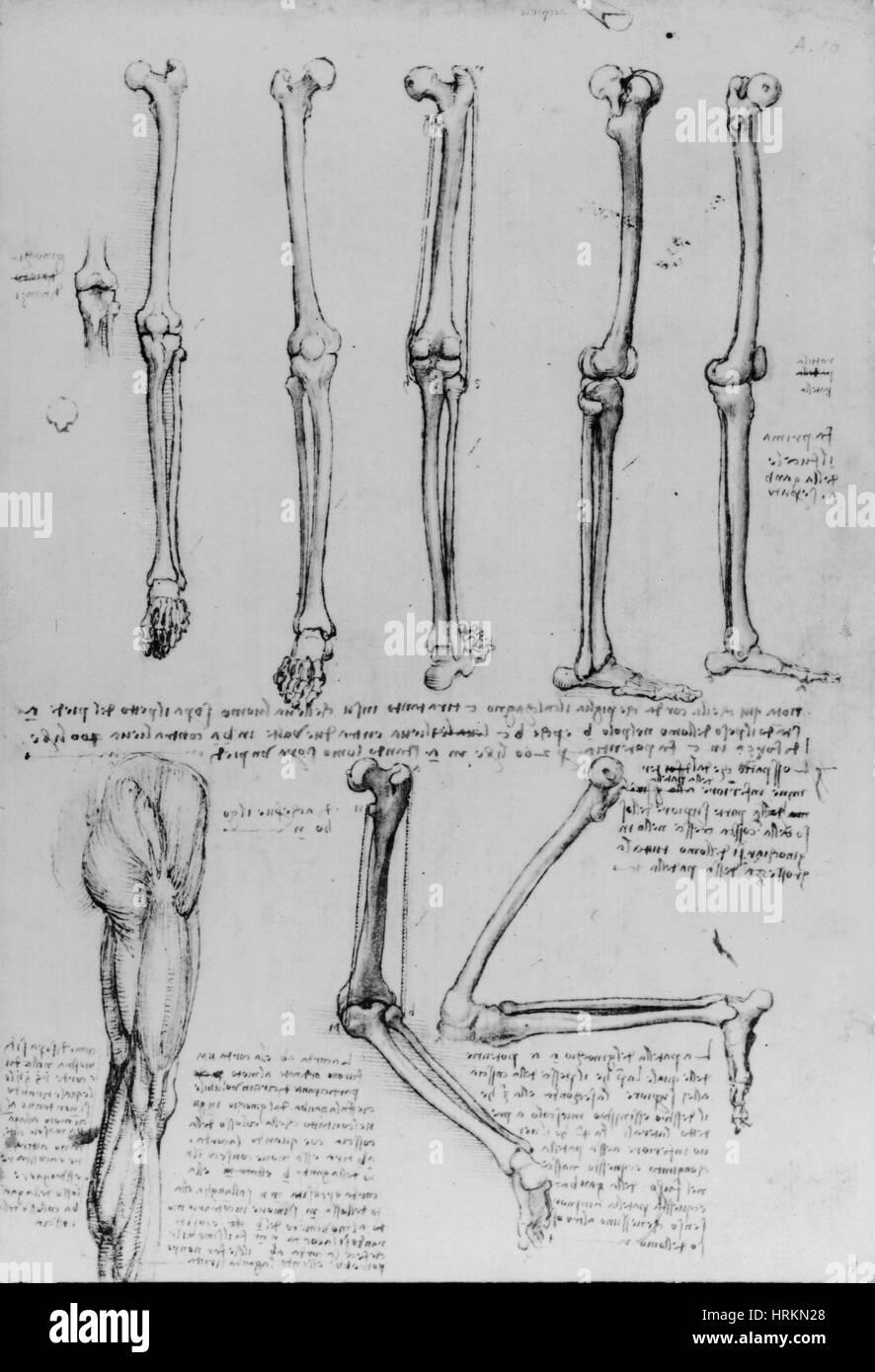Da Vinci Anatomical Drawings - Stock Image