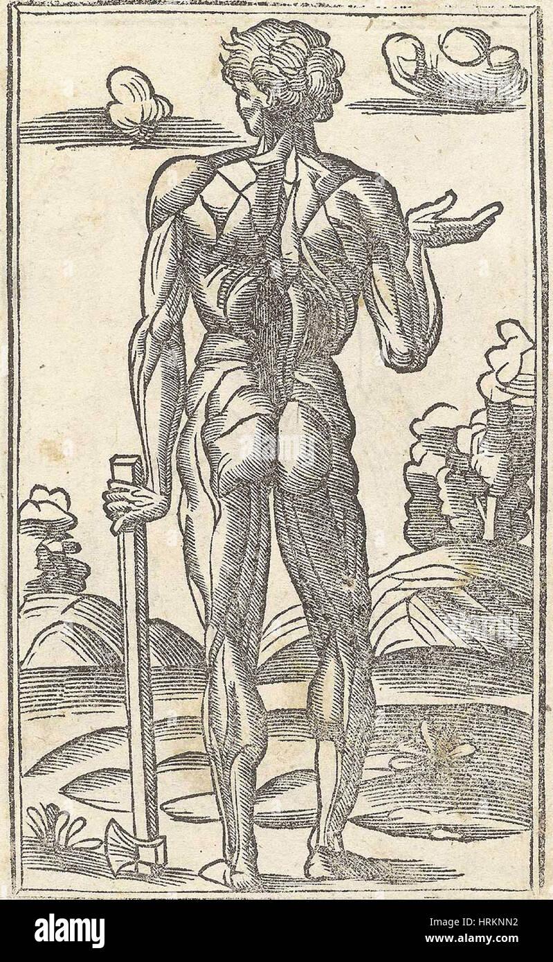 Historical Anatomical Illustration Stock Photo