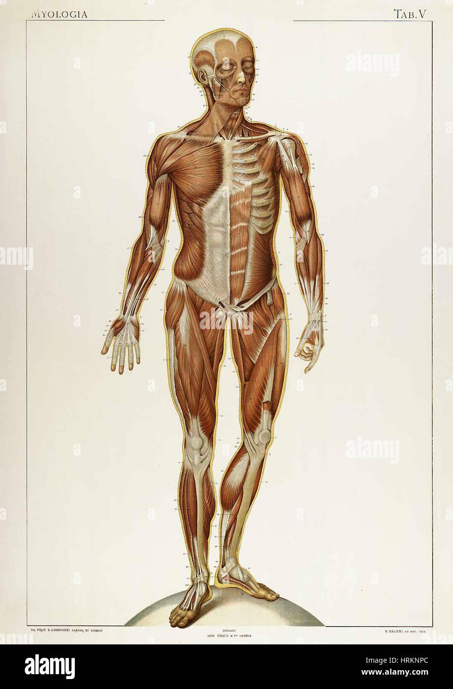 Großzügig Menschliche Anatomie Und Physiologie Labor Galerie ...