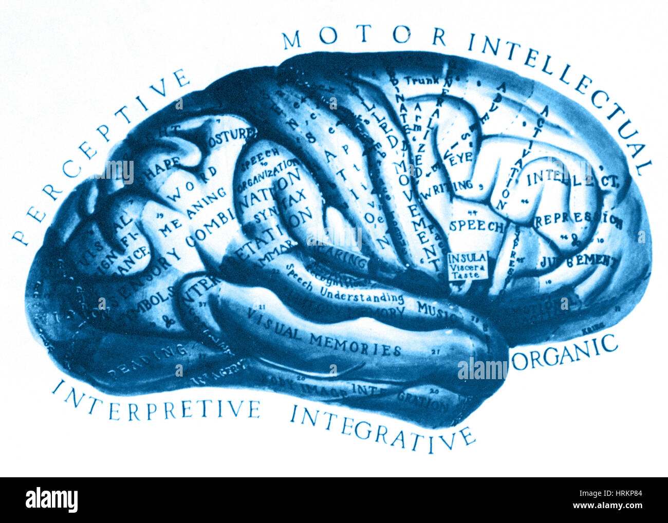 Historical Drawing of Brain - Stock Image