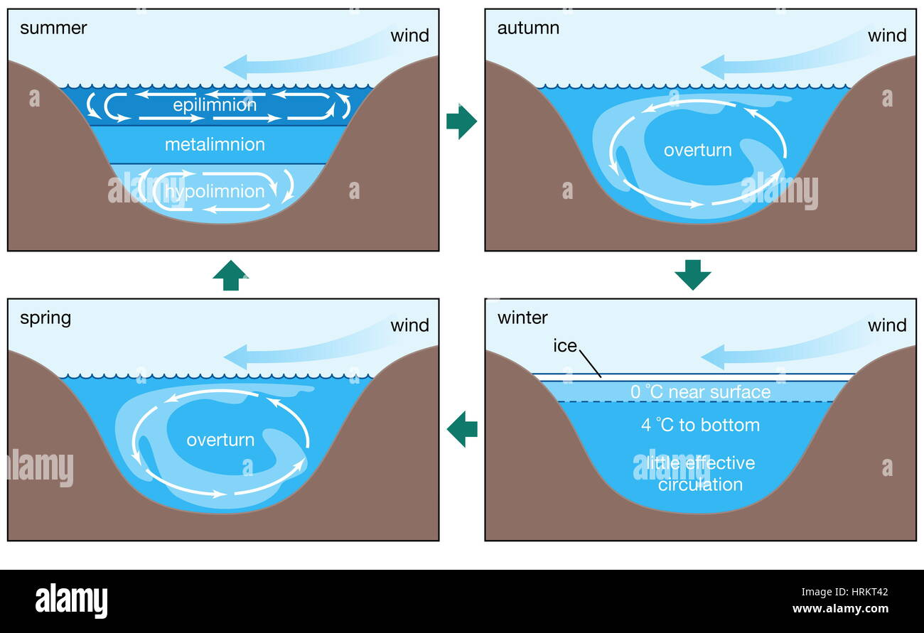 Annual circulation patterns in a dimictic lake. epilimnion, metalimnion, hypolimnion, biosphere, inland water ecosytem, - Stock Image