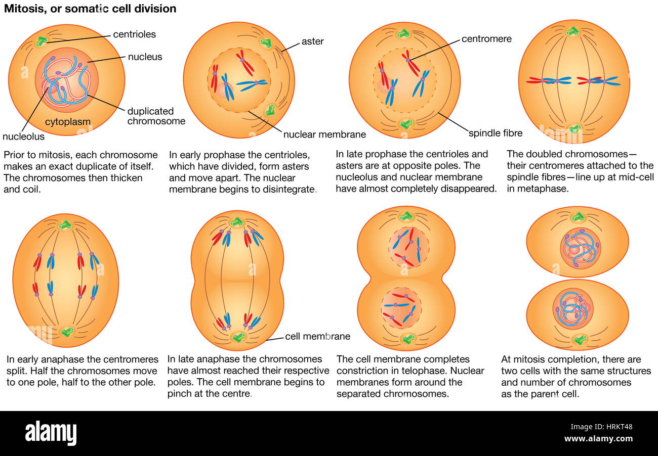 Mitosis, or somatic cell division. - Stock Image