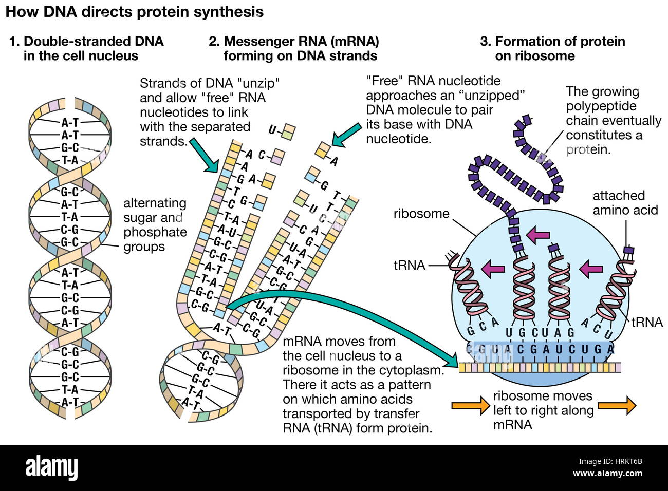 How DNA directs protein synthesis. genetics - Stock Image