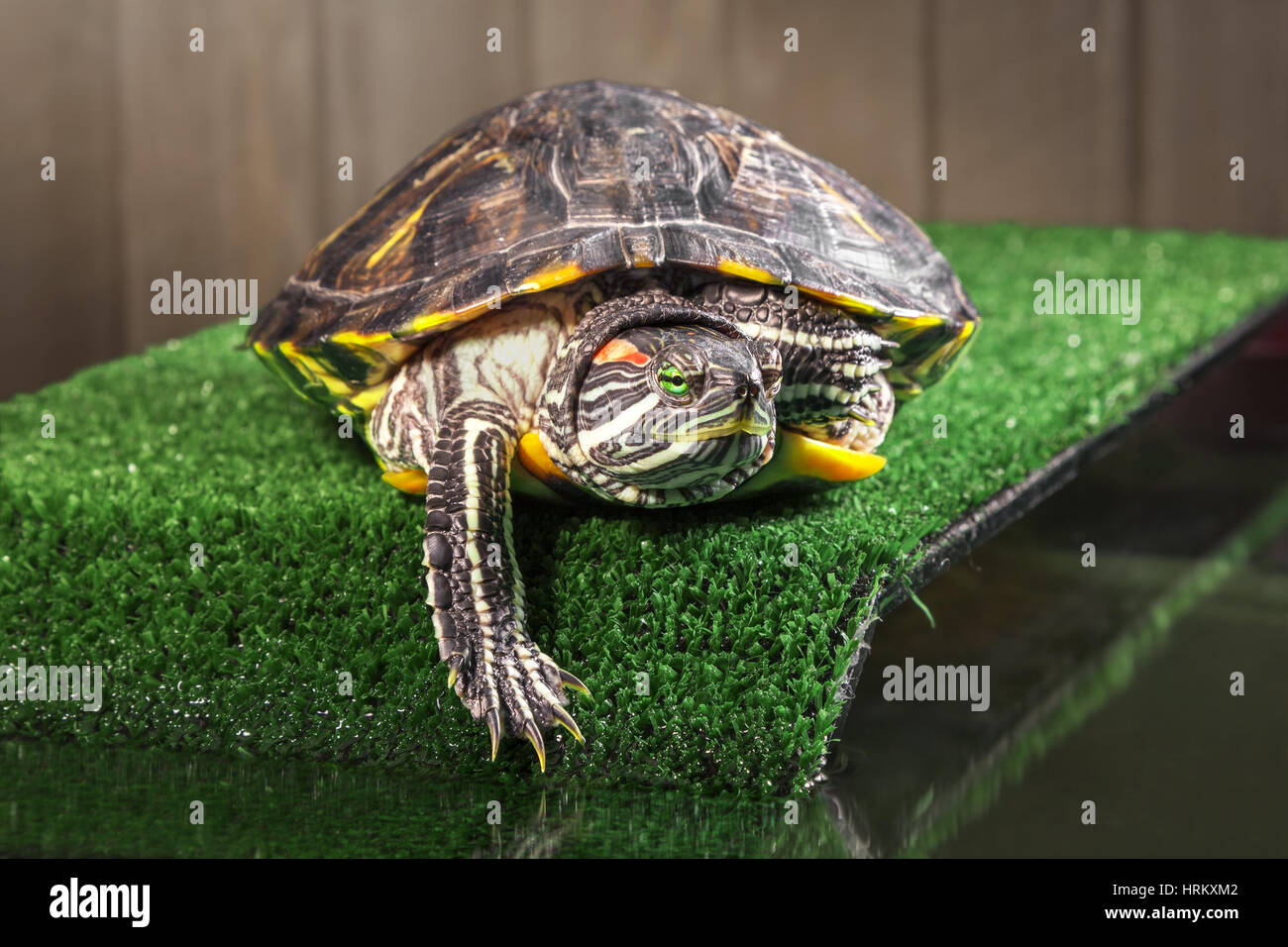 Red-eared slider turtle on the bridge with artificial. Stock Photo