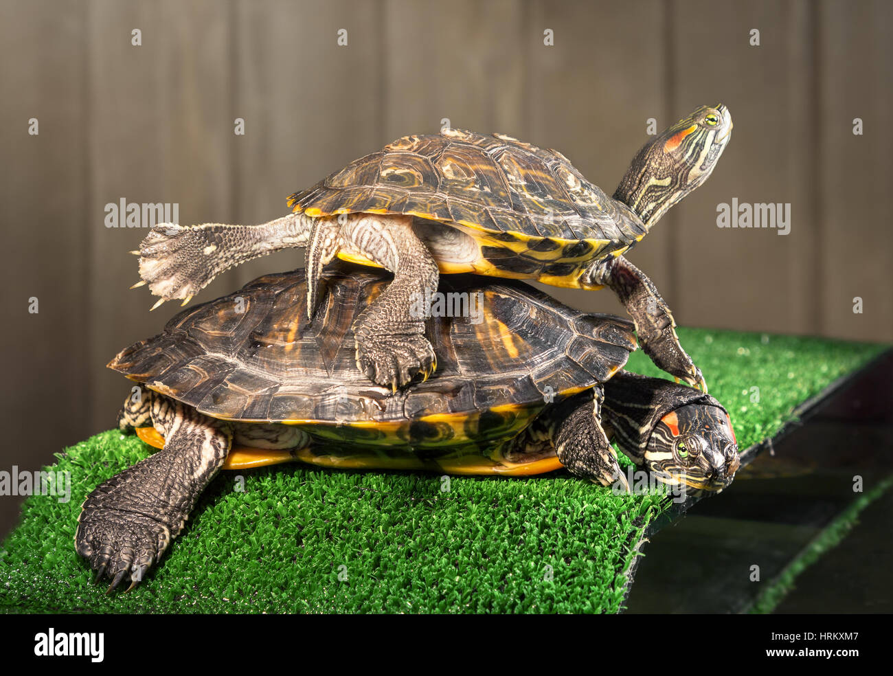 Two red-eared sliders on the bridge with artificial grass are basking under a lamp. Stock Photo