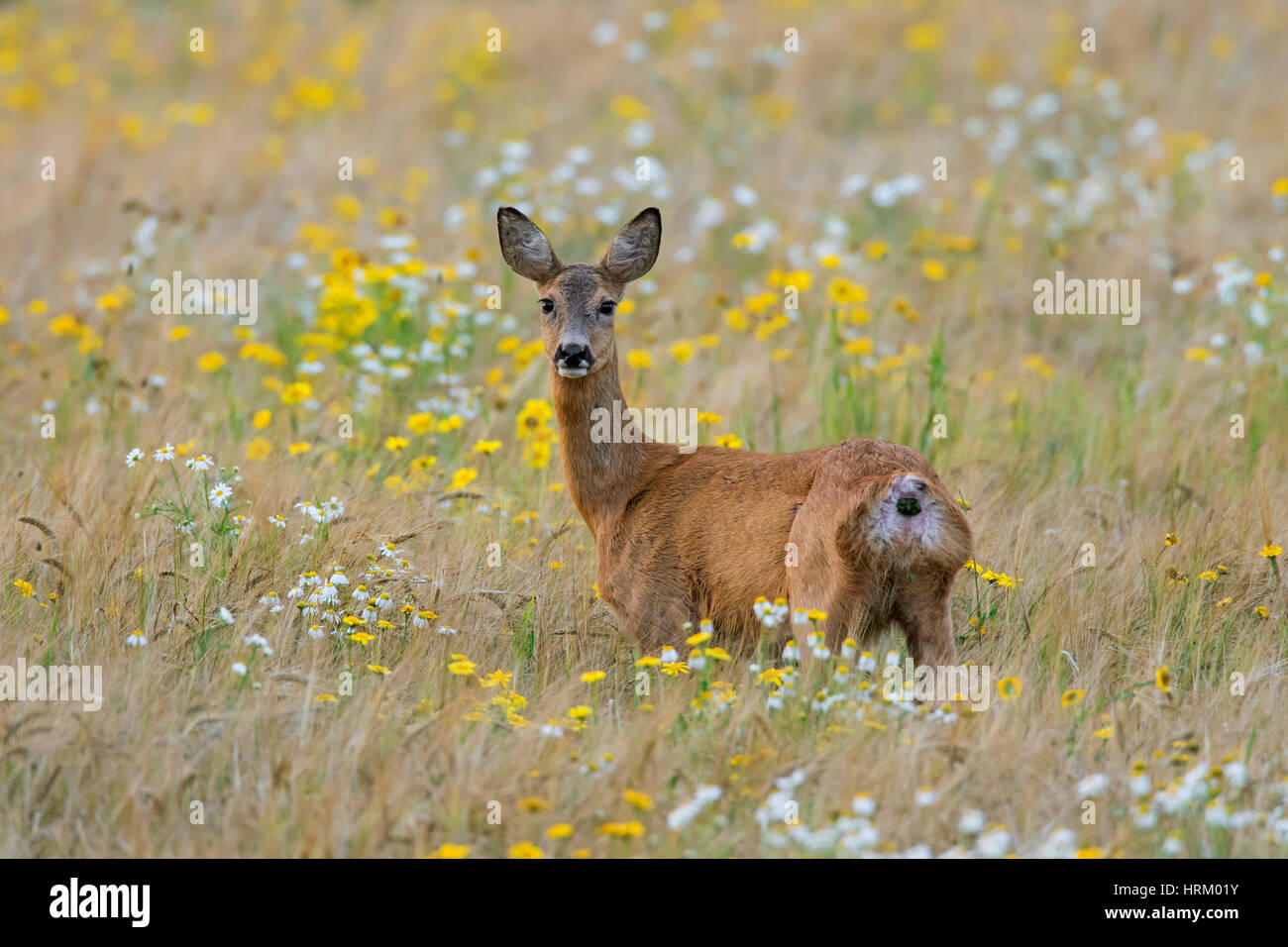 European roe deer (Capreolus capreolus) doe / female foraging in wheat field with wildflowers in summer - Stock Image