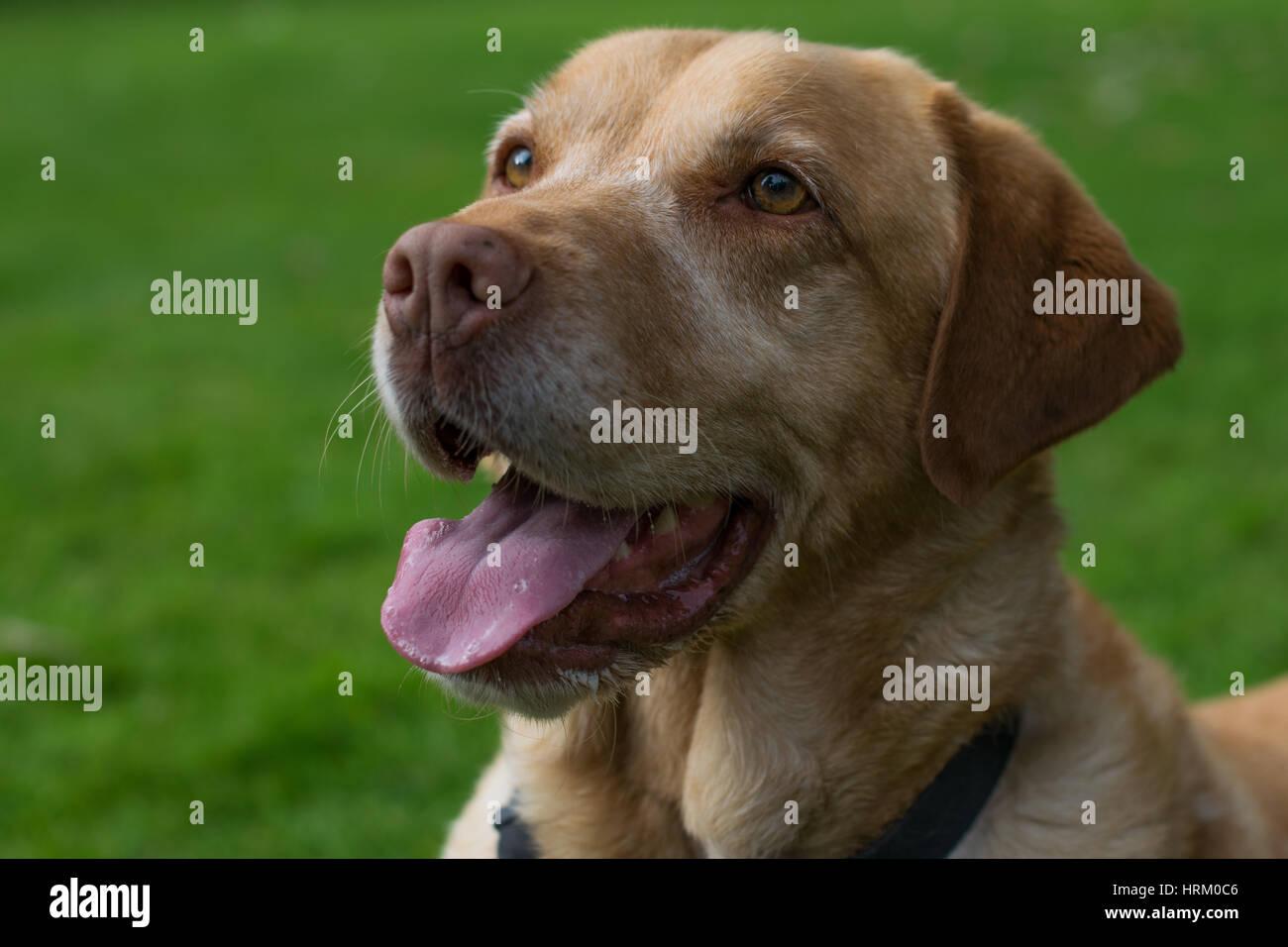 Panting labrador - Stock Image