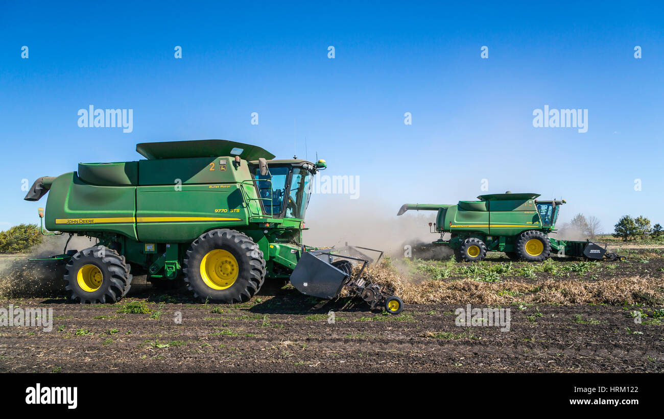 Edible bean pulse crop harvesting at the Froese Farm near Winkler, Manitoba, Canada. - Stock Image