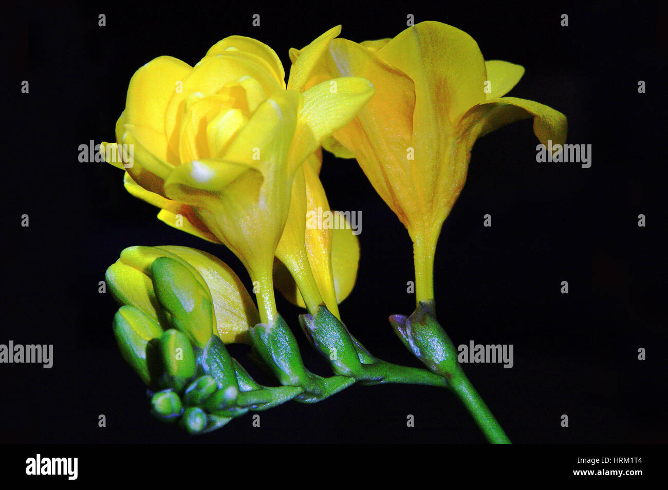 A still life of Freesias in bloom Stock Photo