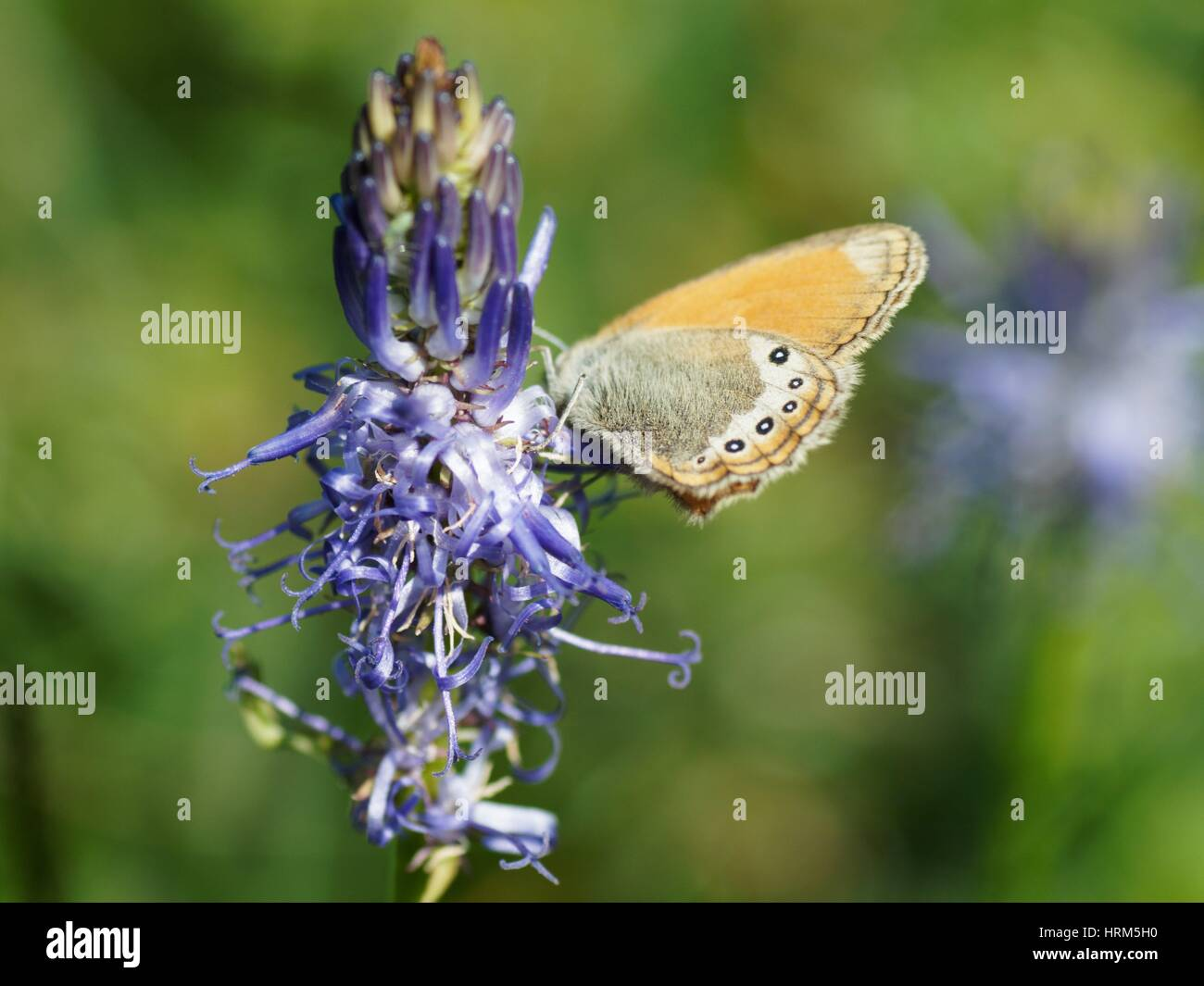 lpine Heath (Coenonympha gardetta) on a flower, Alps, France Stock Photo