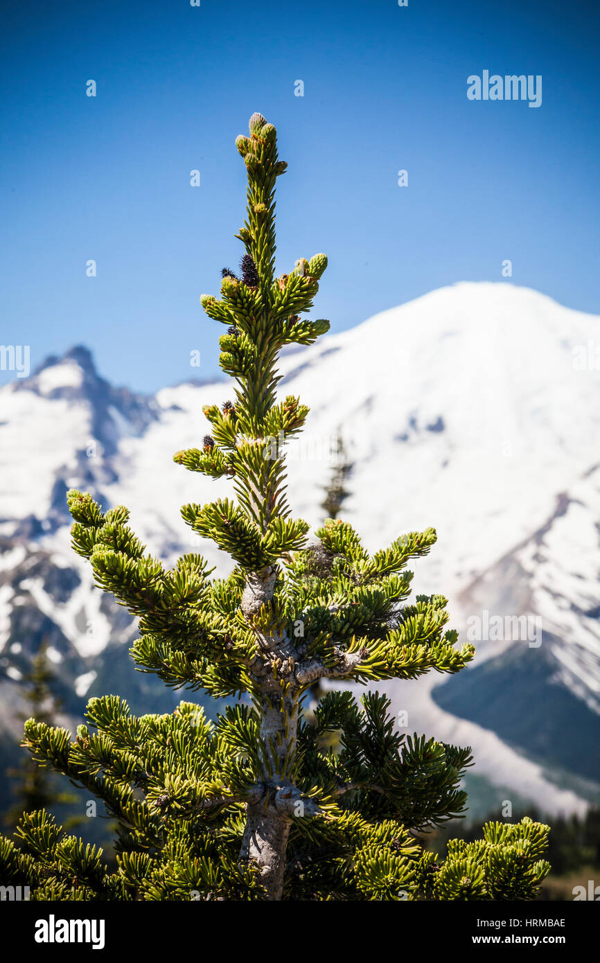Closeup of a tree with Mt Rainier in the Background. - Stock Image