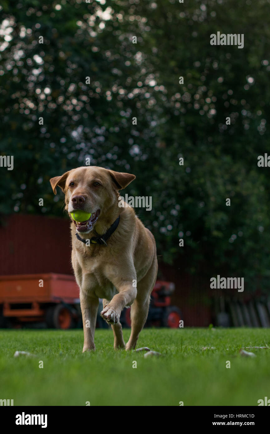 A running Labrador in my back garden - Stock Image