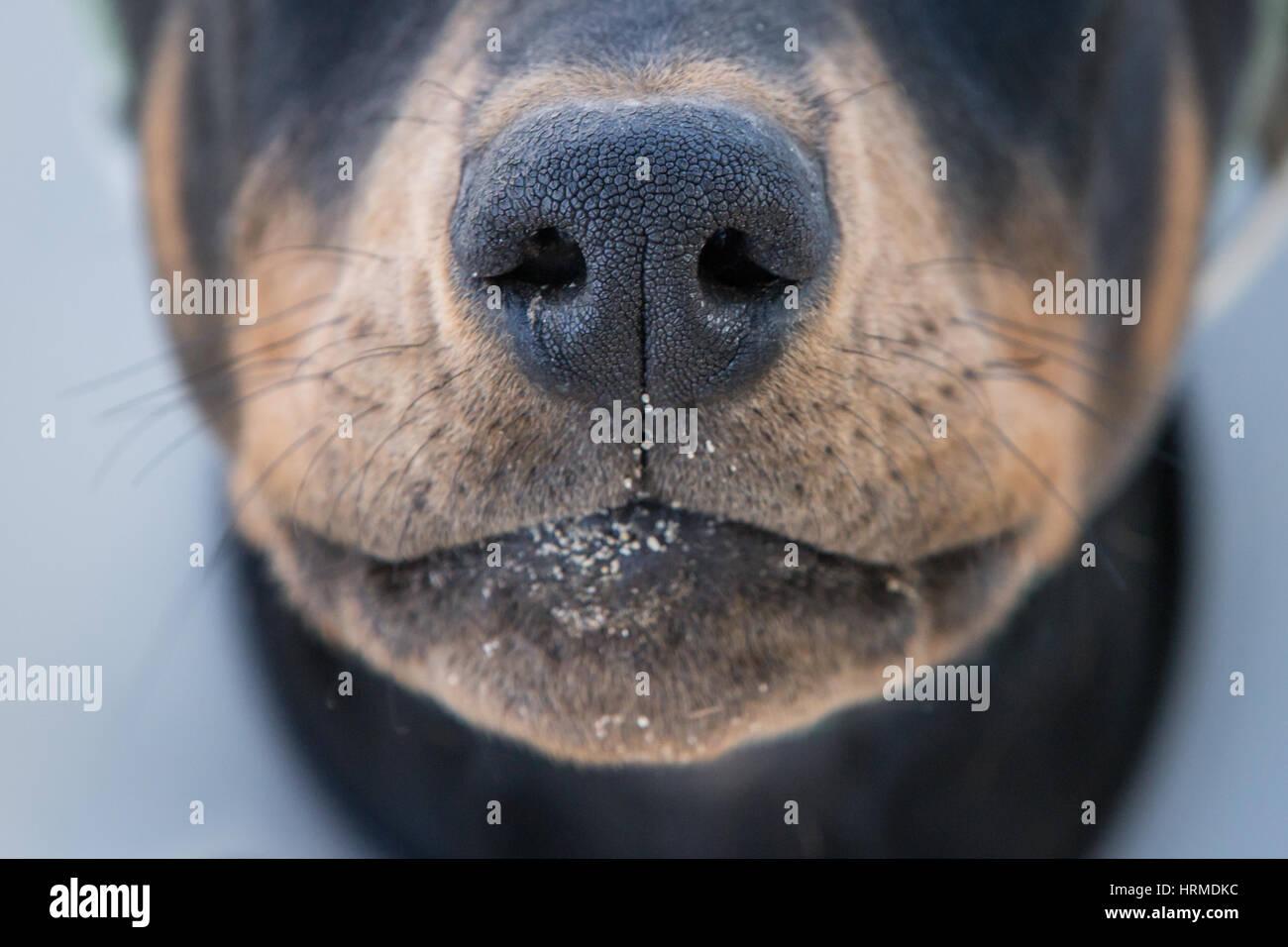 The nose of a doberman pinscher, - Stock Image