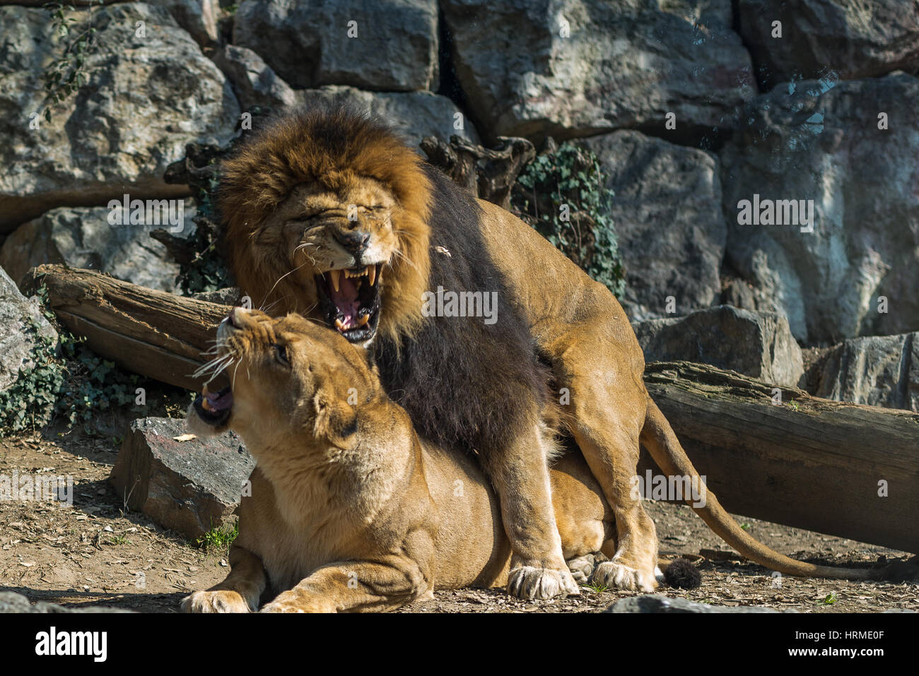 lion and lioness mating in a wildlife park, the male lion growls - Stock Image