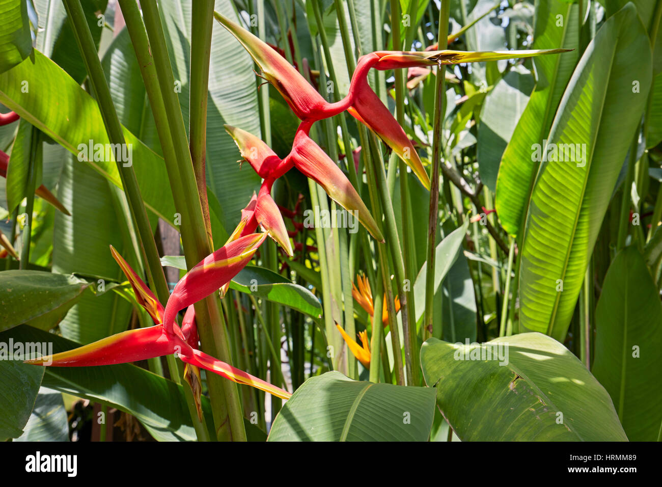 Heliconia flower. Hoi An, Quang Nam Province, Vietnam. - Stock Image