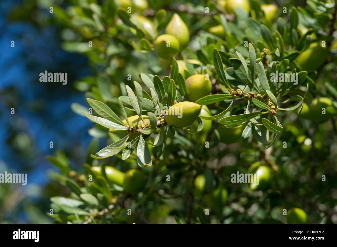 Argan fruit from argan trees (Argania spinosa). Southwest Morocco - Stock Image