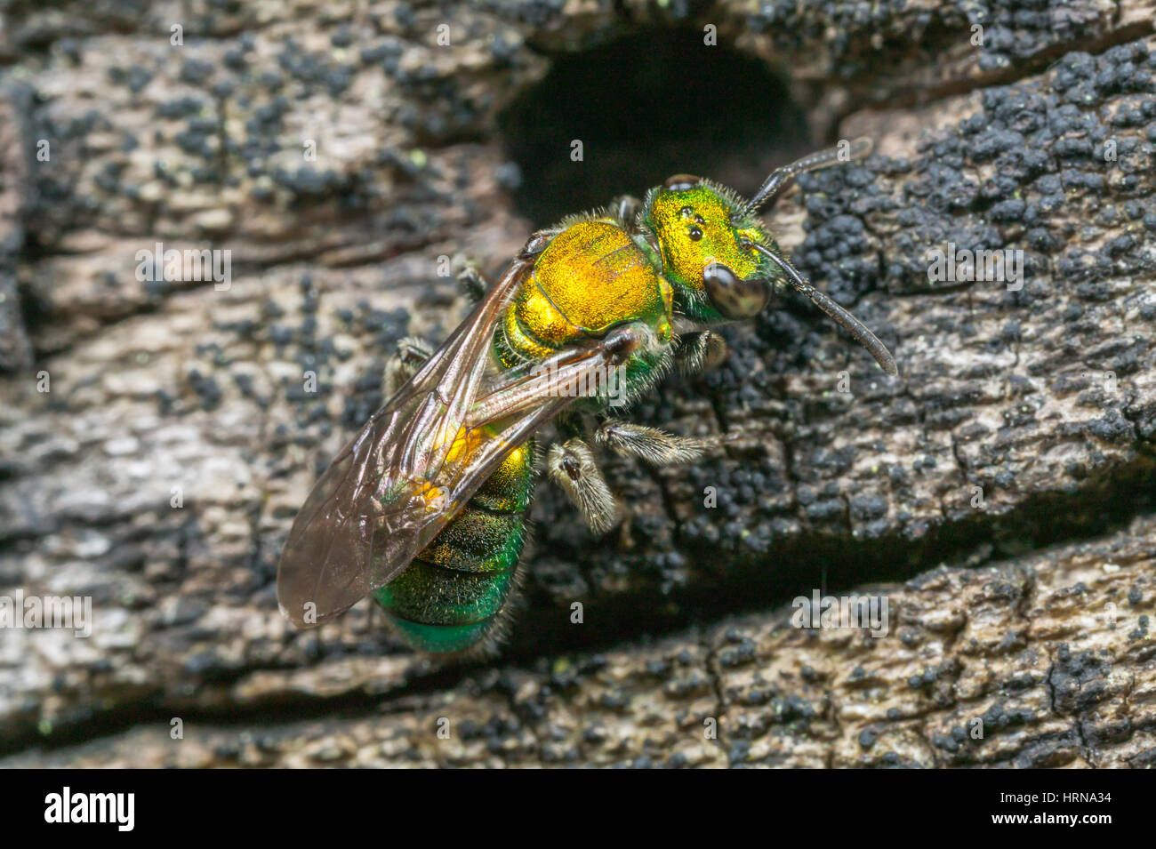 A female Sweat Bee (Augochlora pura) explores a cavity in a dead log. - Stock Image