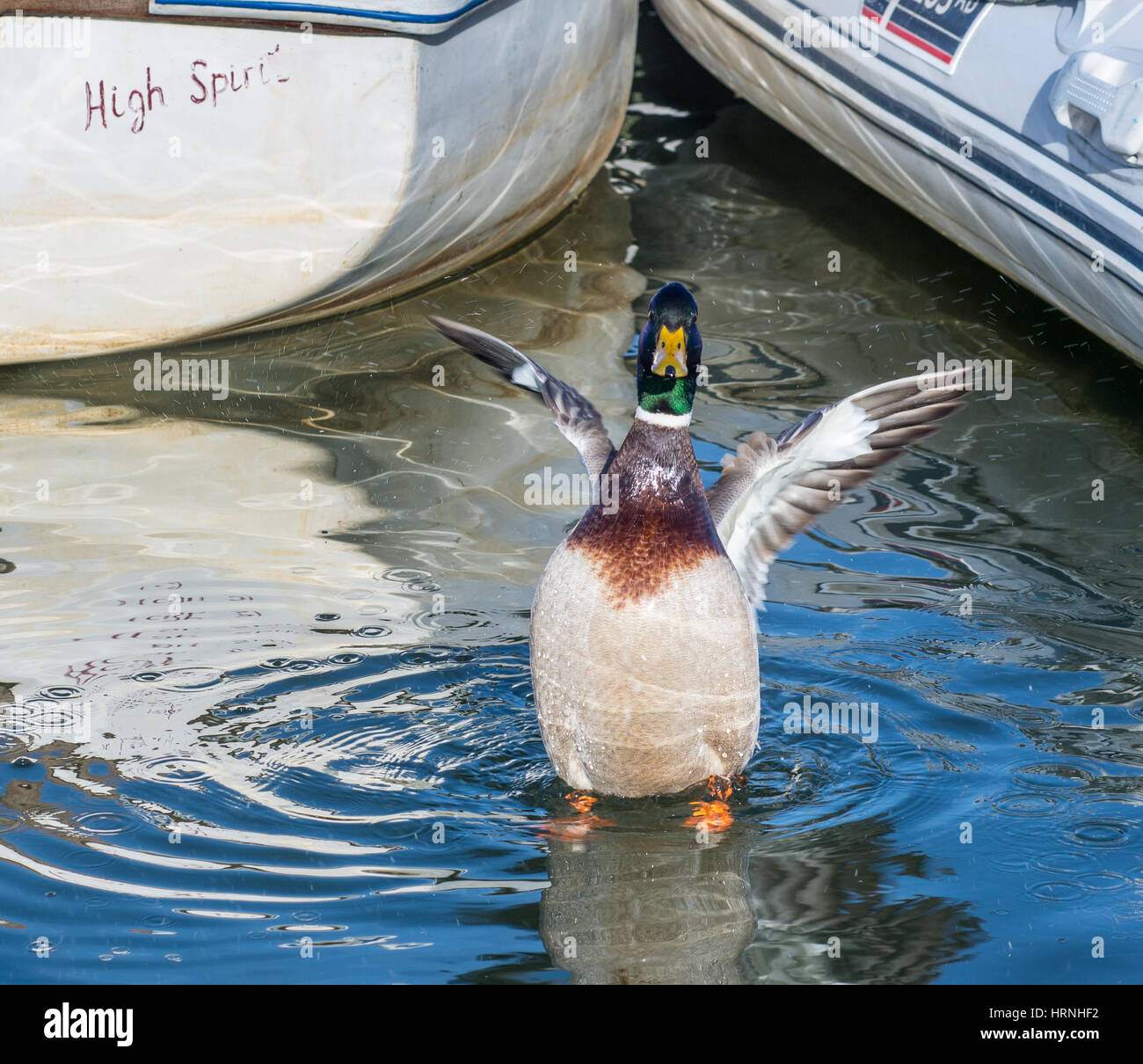 A high spirited Mallard duck flapping its wings and splashing in the sea water among small boats. Stock Photo