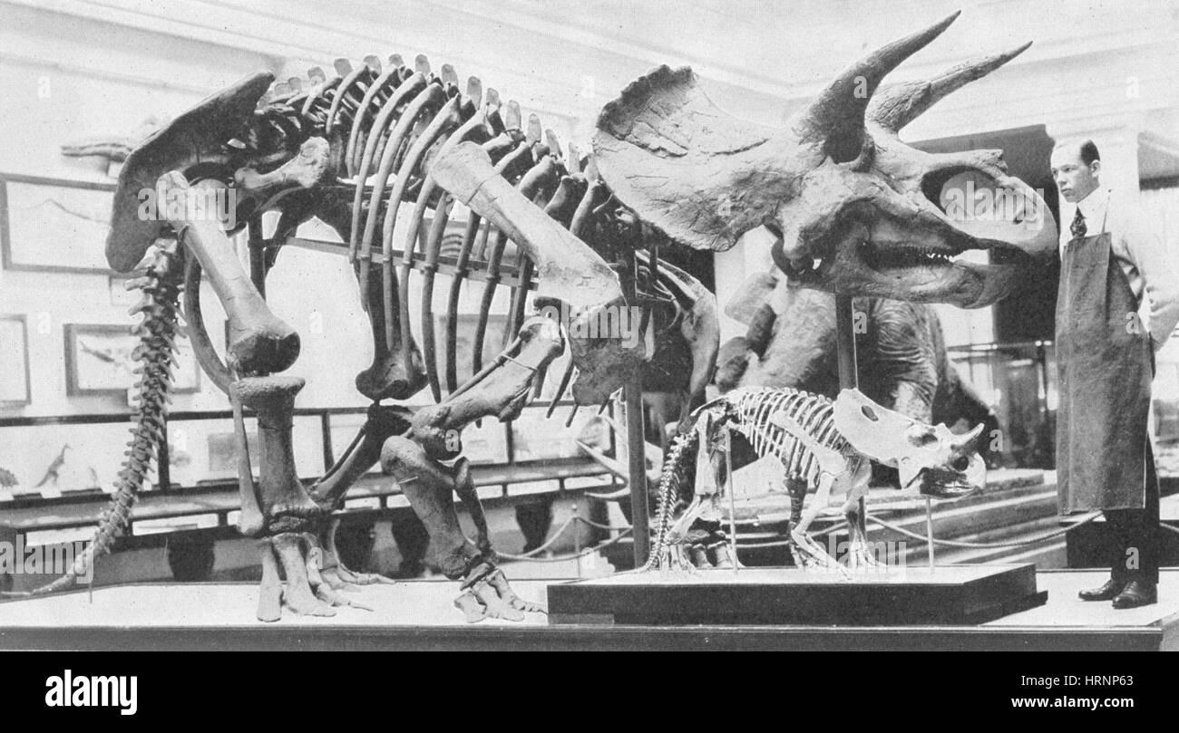 Triceratops, Cretaceous Dinosaur - Stock Image