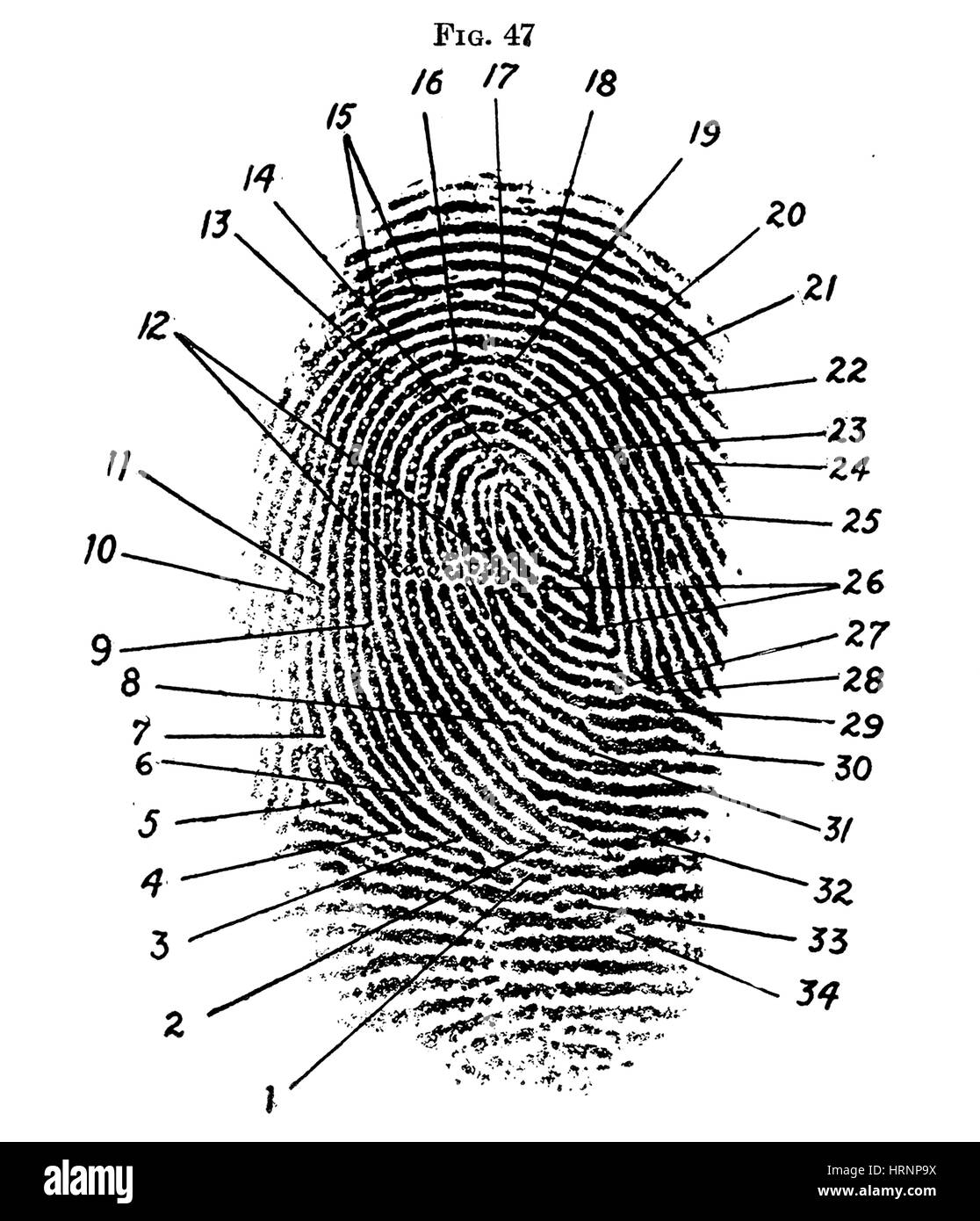 Fingerprint Diagram  1940 Stock Photo  135088182