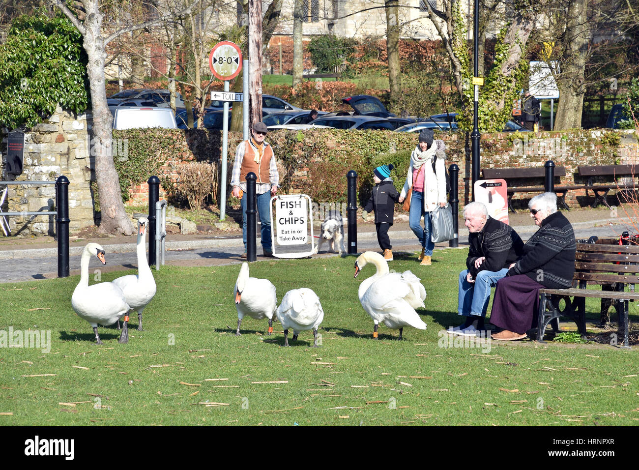 Swans on park at Christchurch harbour in Dorset, England - Stock Image