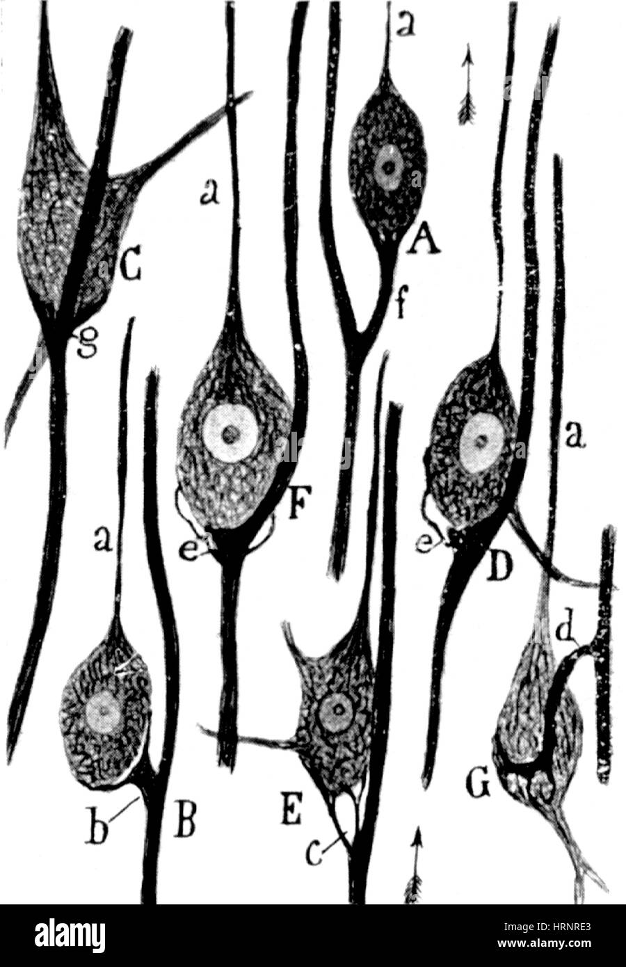 Neural Connections Illustrated by Cajal, 1923 - Stock Image