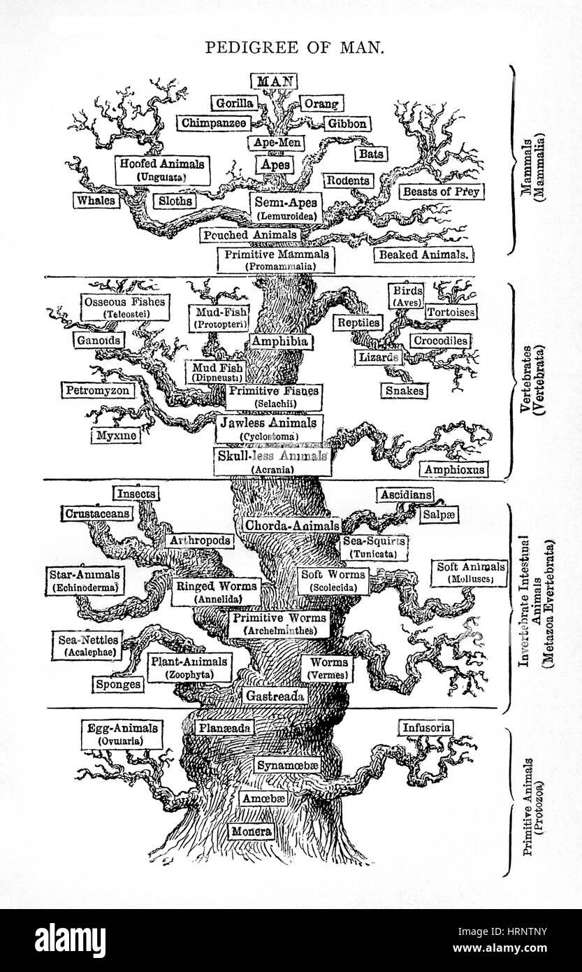 Haeckel's Tree of Life, Evolution of Man, 1879 - Stock Image