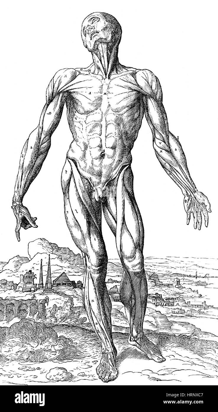 Historic Anatomy Book Andreas Vesalius Stock Photos & Historic ...