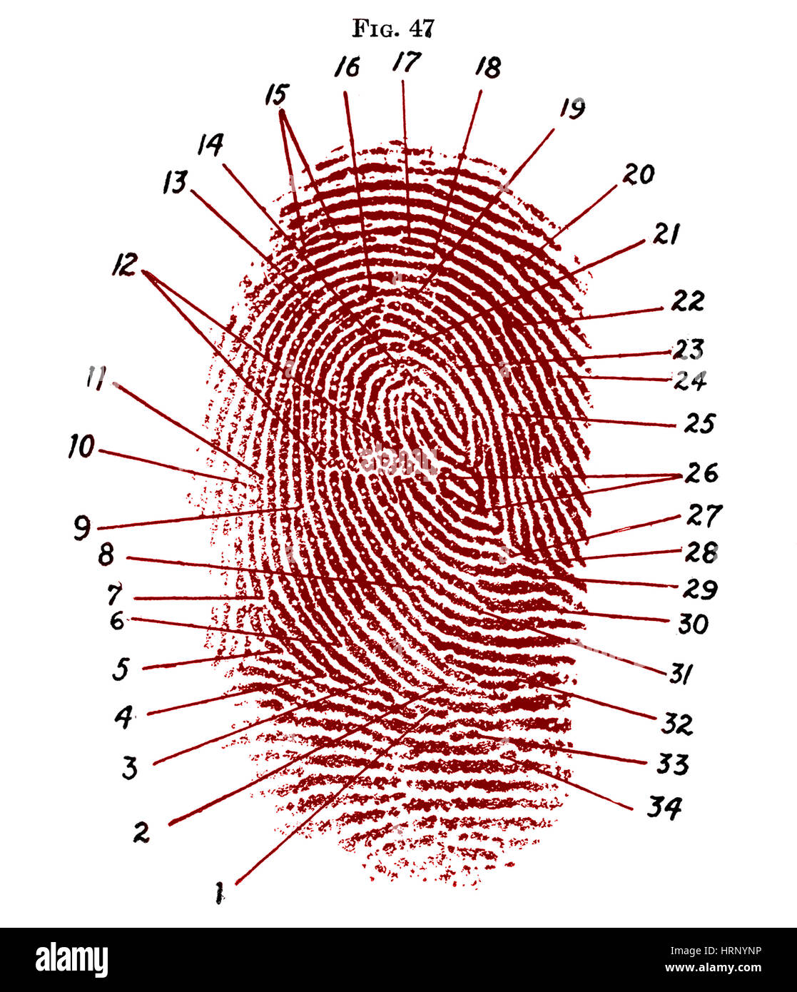 Fingerprint Diagram, 1940 Stock Photo