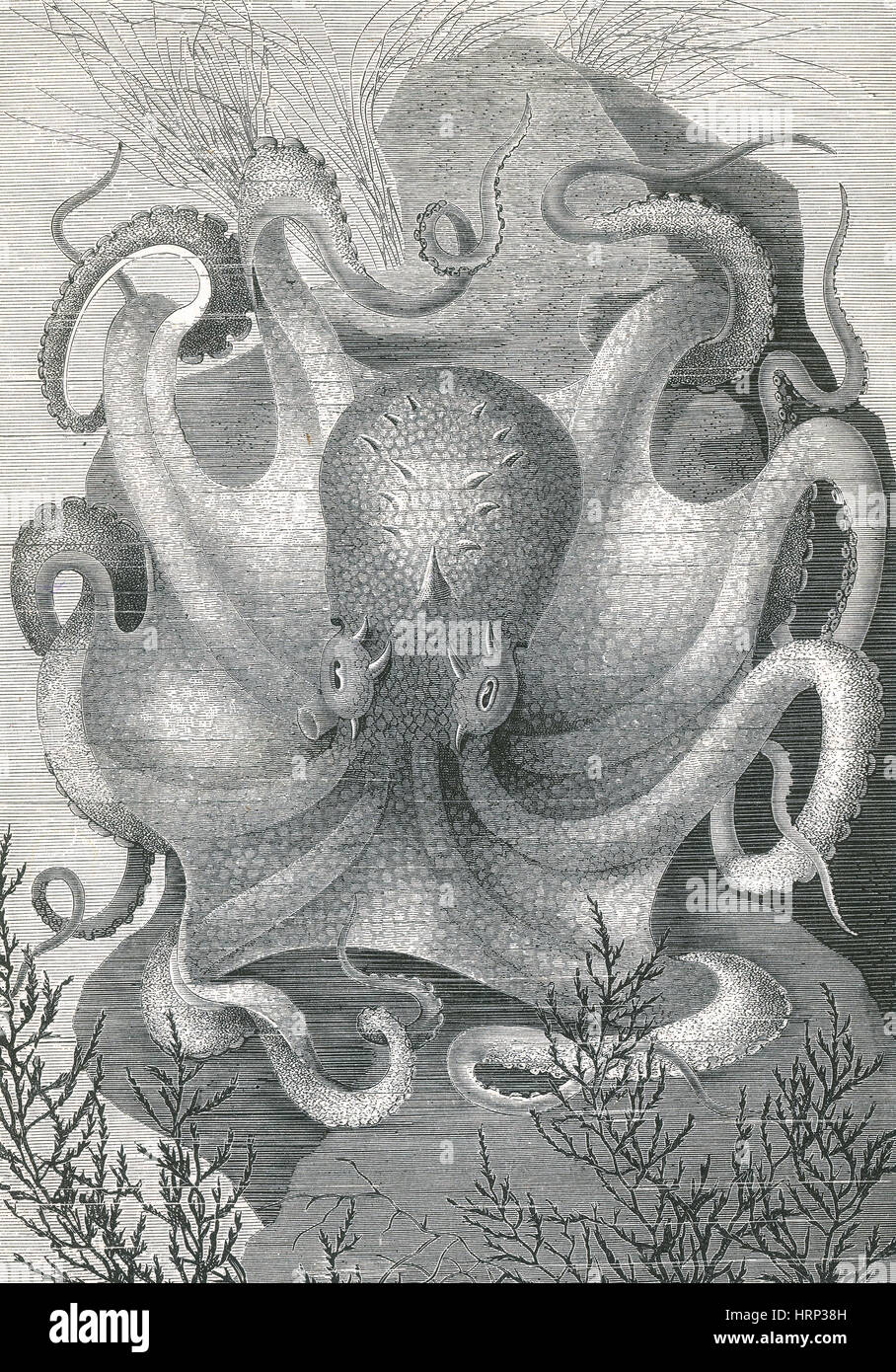 Octopus, 1878 - Stock Image