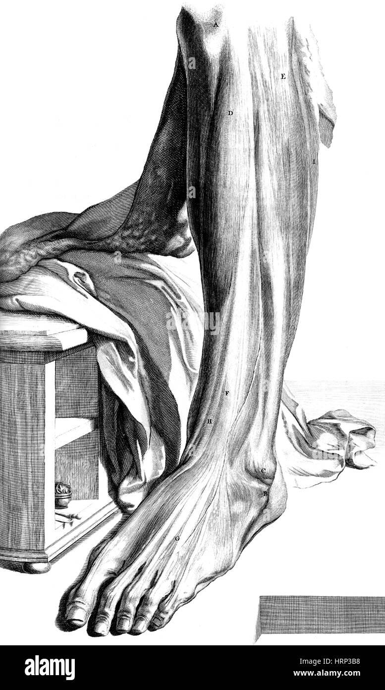 Anatomia humani corporis, Table 80, 1690 - Stock Image