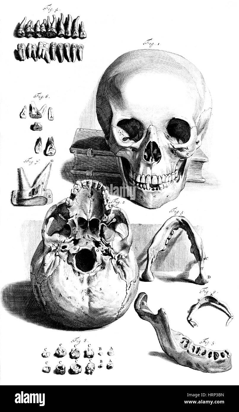 Anatomia humani corporis, Table 92, 1690 - Stock Image
