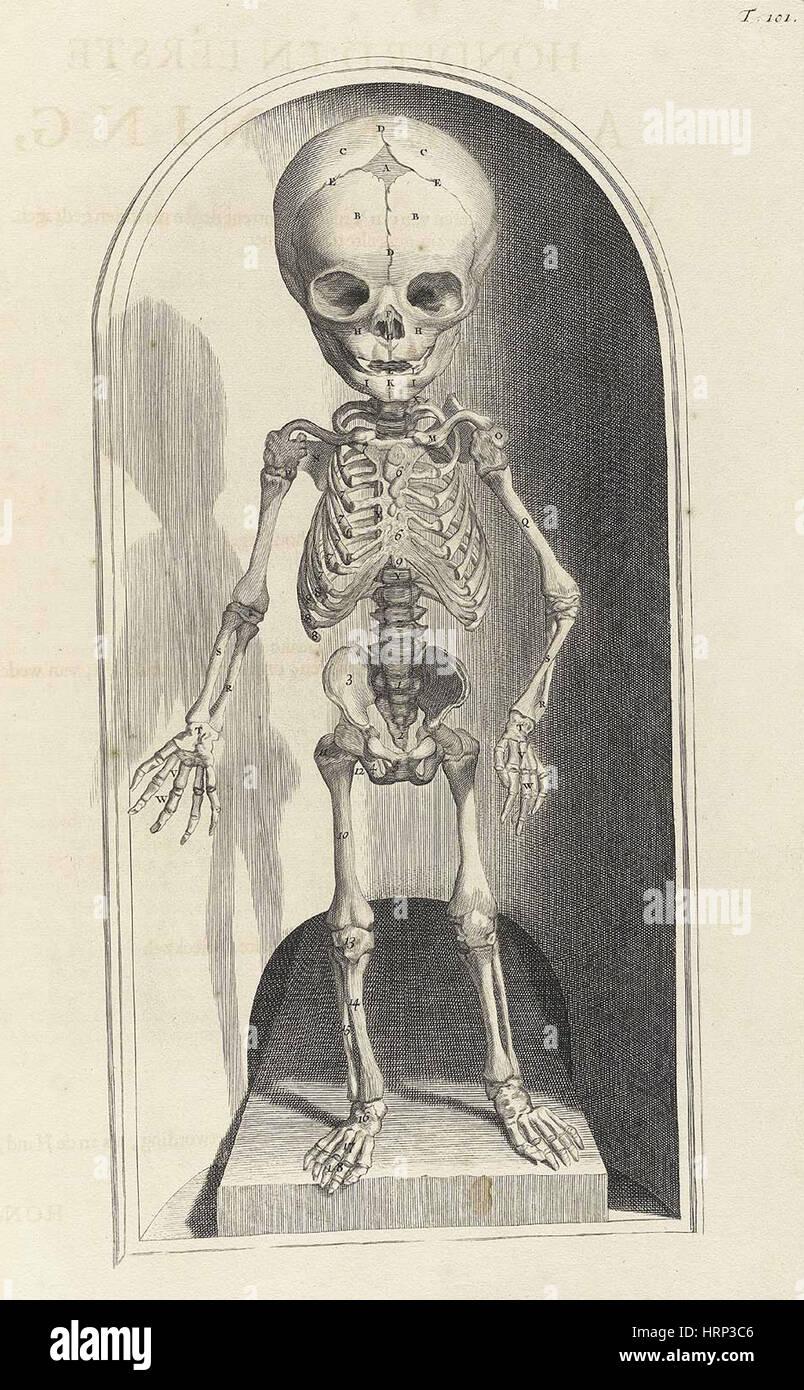 Anatomia humani corporis, Table 101, 1690 Stock Photo