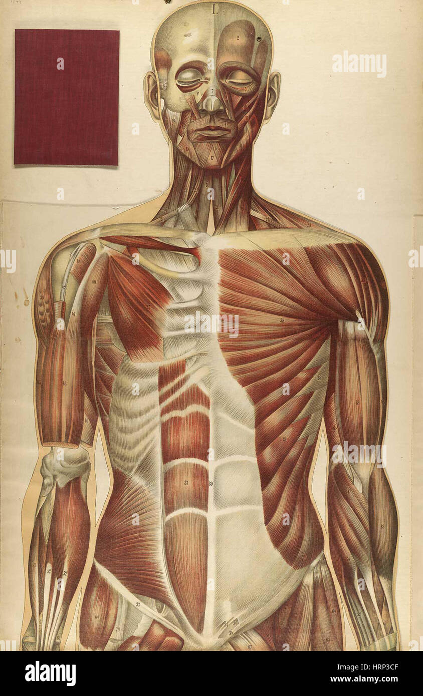 Le corps humain, Bougl̩, 1899 - Stock Image