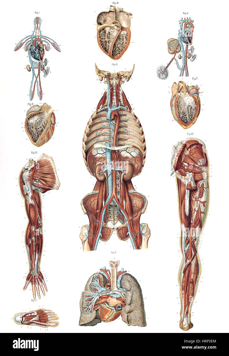 Fein Bronchopulmonale Segmente Anatomie Fotos - Anatomie Von ...