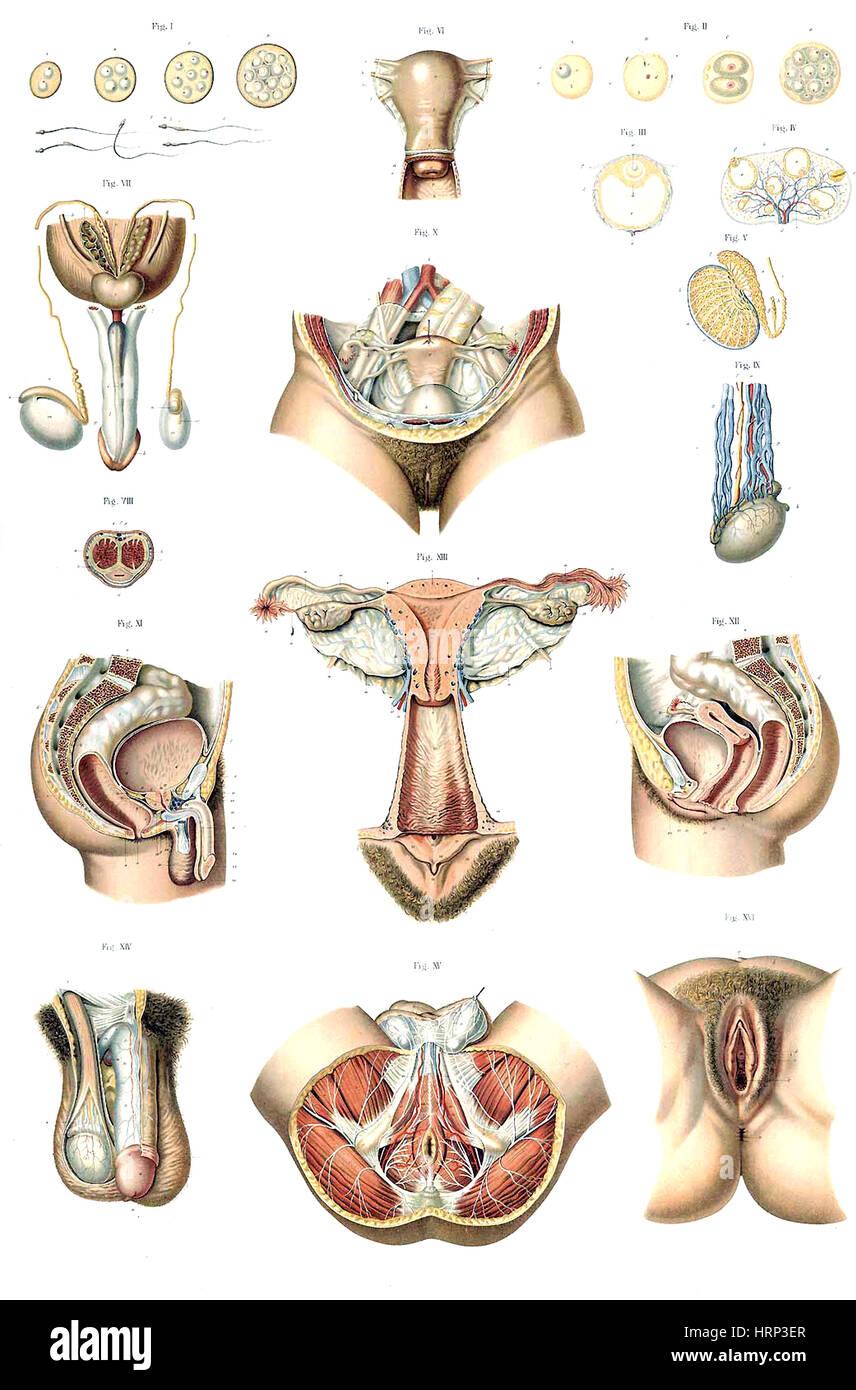 Anatomie du Corps Humain, Laskowski, 1894 - Stock Image