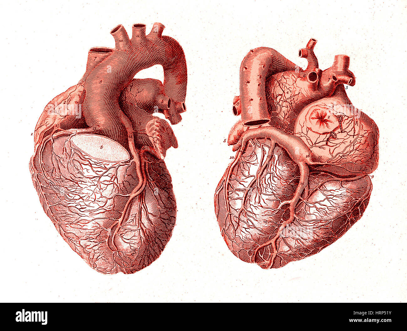 Dissected Heart Stock Photos Dissected Heart Stock Images Alamy