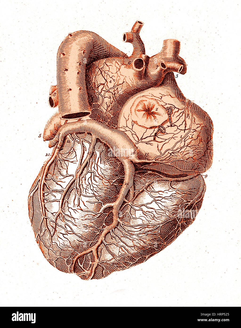Heart, Anatomical Illustration, 1814 Stock Photo: 135096589 - Alamy