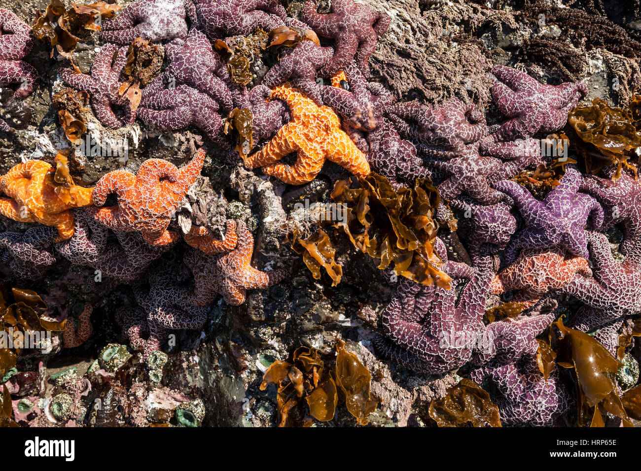 A rock covered with sea anemones and sea stars. Some of the sea stars have sea star wasting disease, 2013 2nd Beach - Stock Image