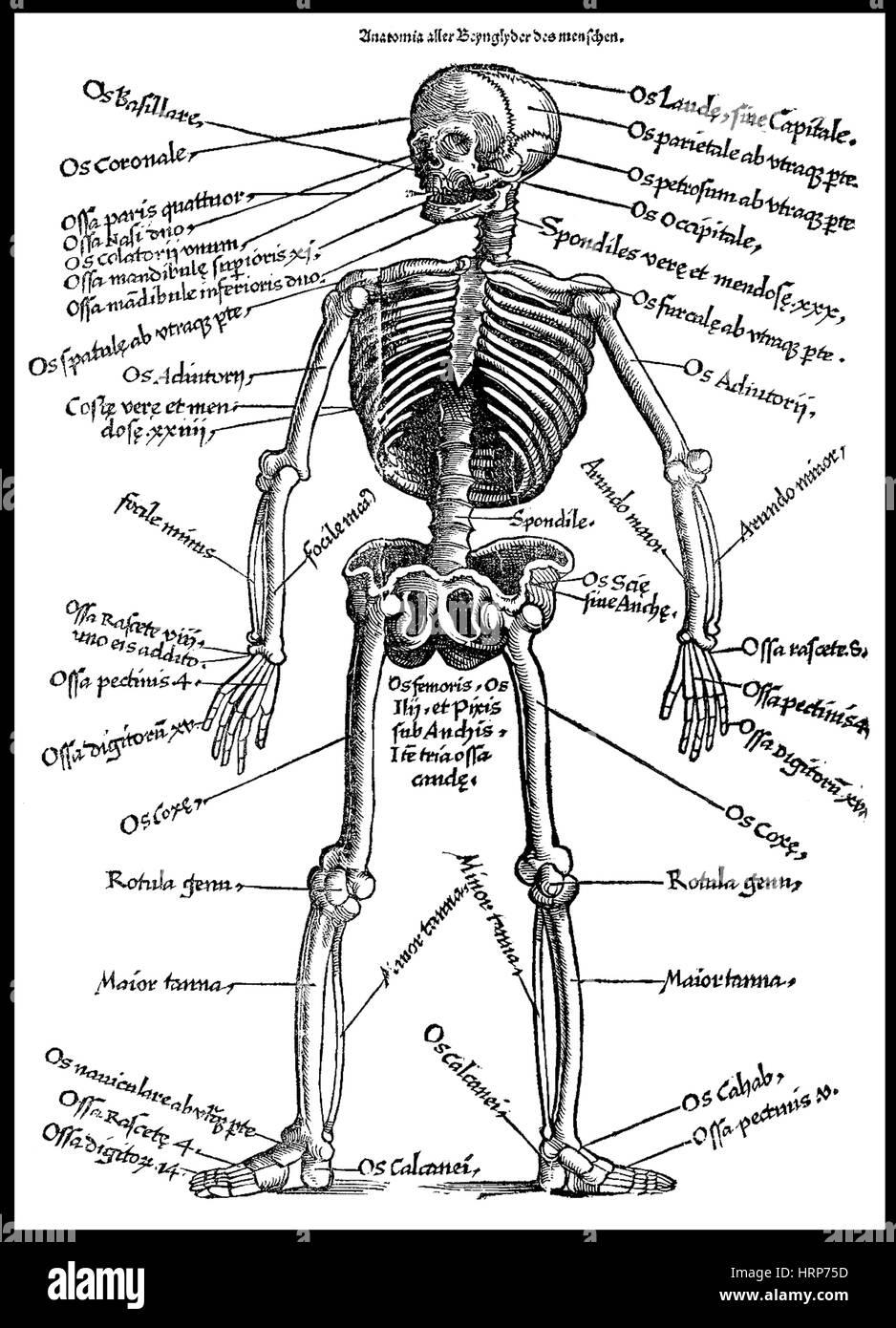 Human Skeleton, 'Feldbuch der Wundartzney', 1528 - Stock Image