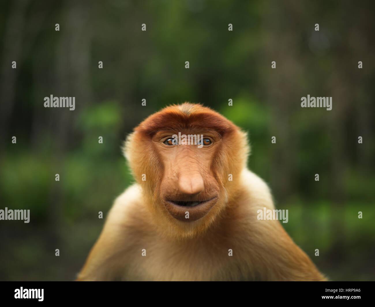 Nasalis larvatus, Long-nosed monkey, Malaysia, Indonesia, Asia, Borneo, Kalimantan - Stock Image
