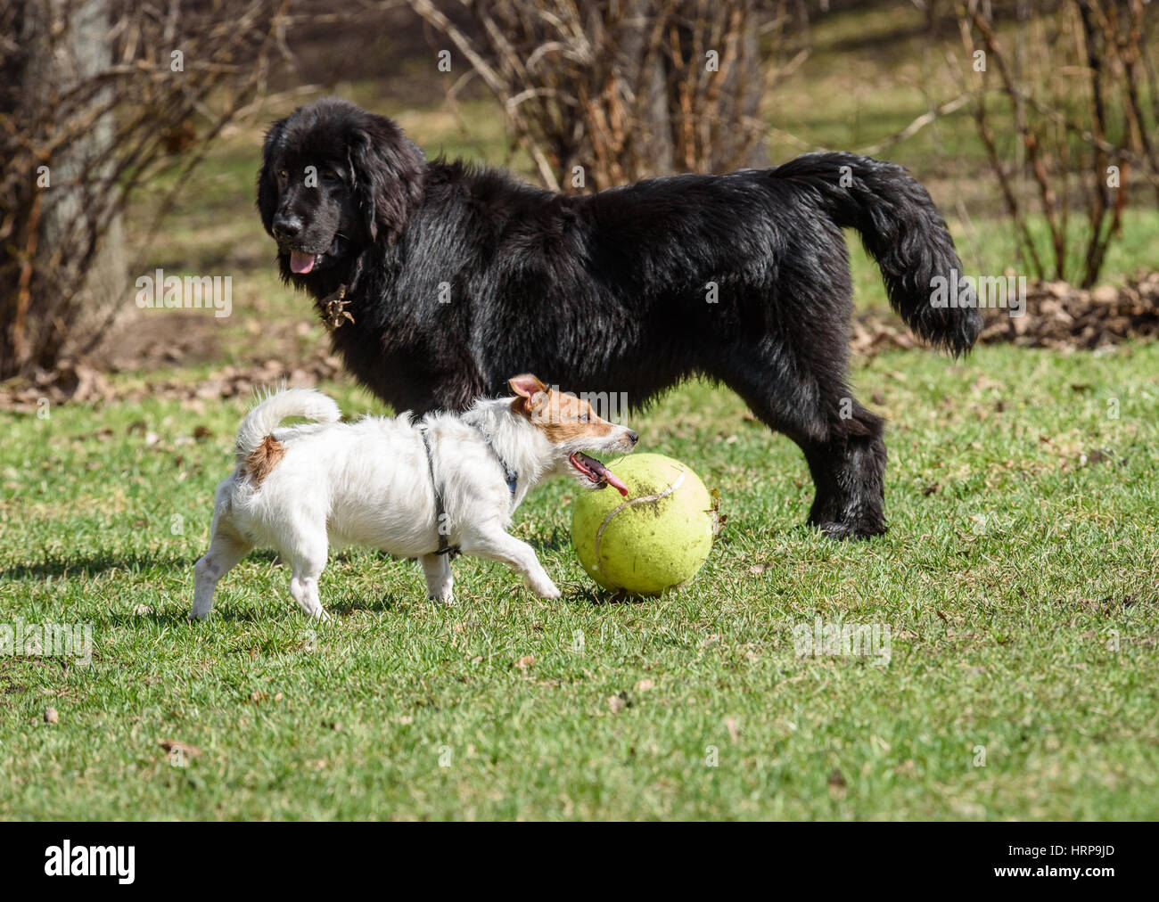 Newfoundland dog and Jack Russell Terrier. Black vs White. Big vs Small. - Stock Image