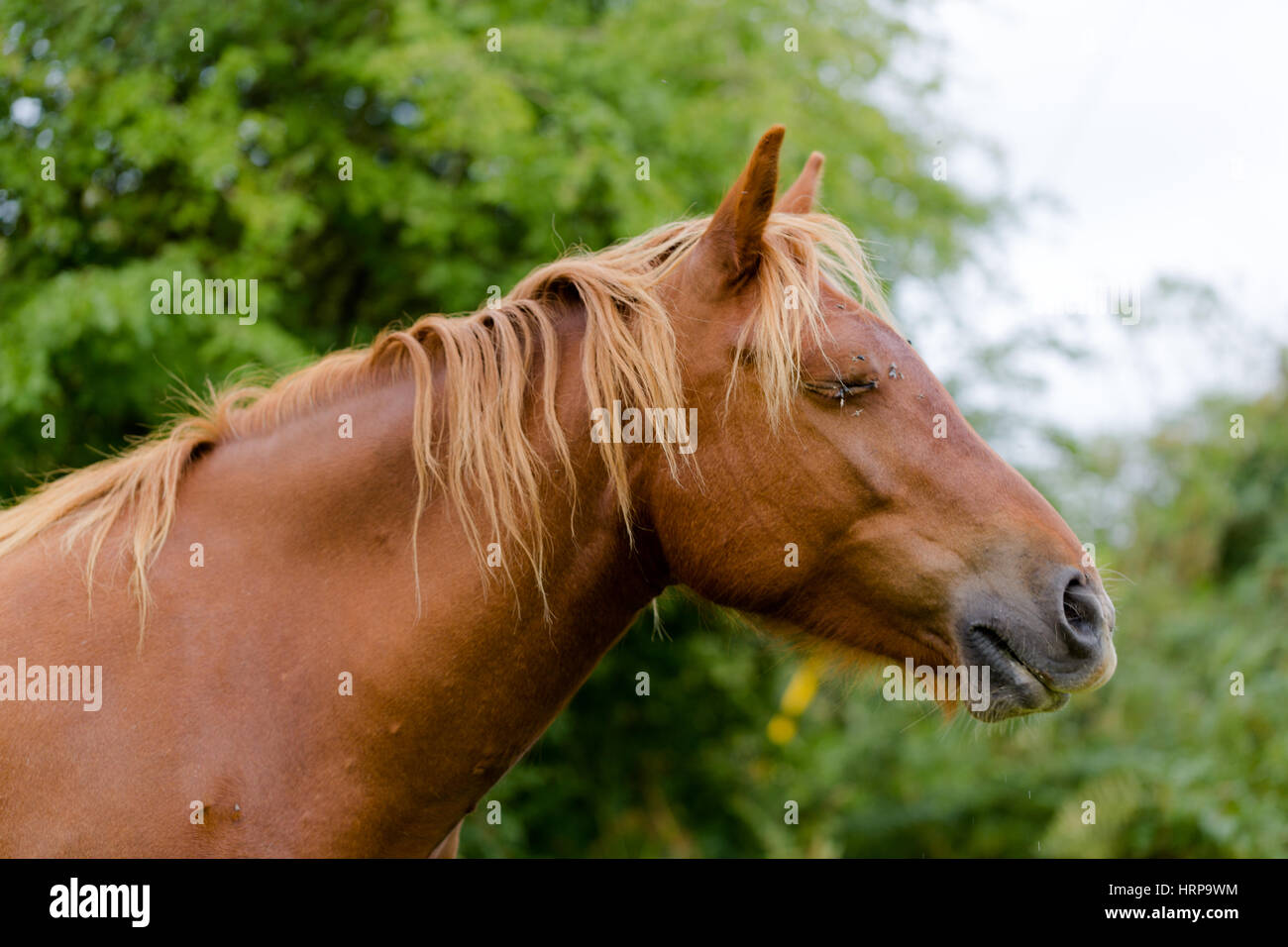 Wild brown beauty horse head close up portrait  Horse with