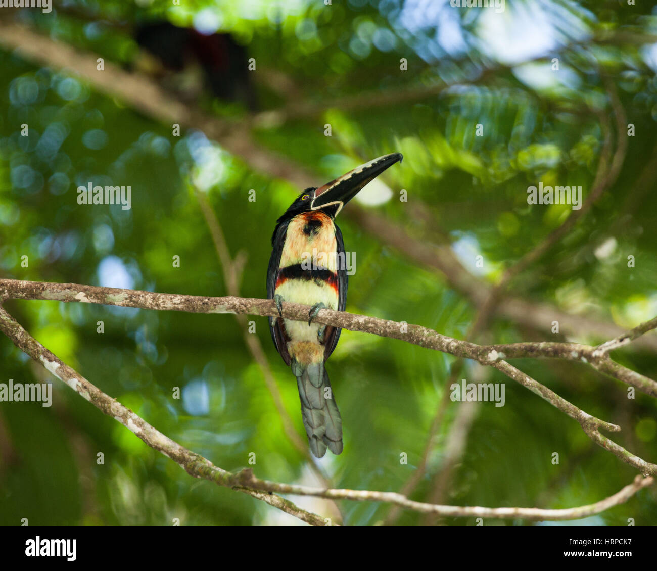The Collared Aracari, Pteroglossus torquatus, is a small toucan. It breeds from southern Mexico to Panama; also Ecuador, Colombia, Venezuela and Costa Stock Photo