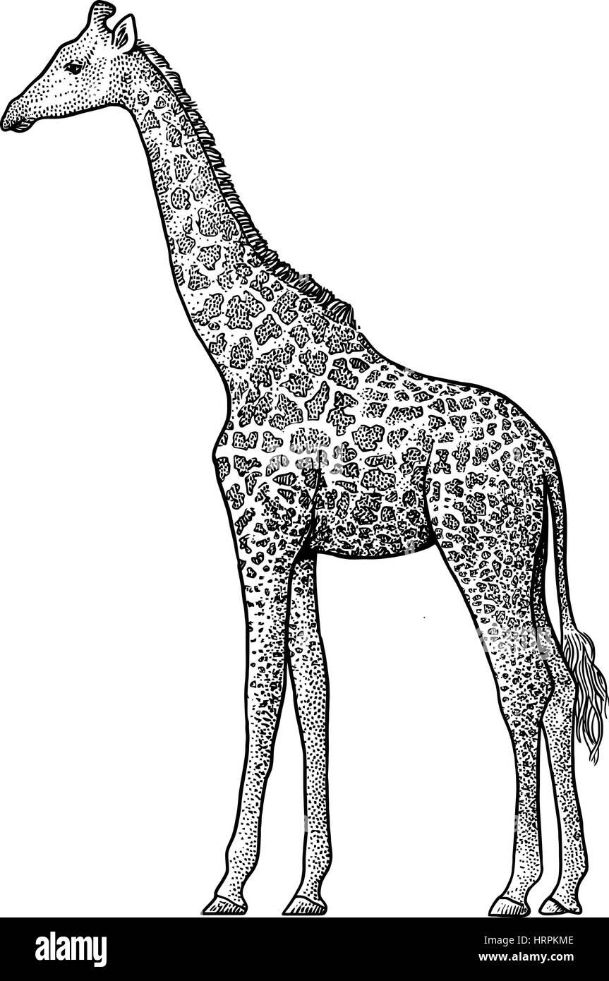 Line Drawing Giraffe : Giraffe silhouette outline stock photos